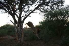 leopard_vs_lion11